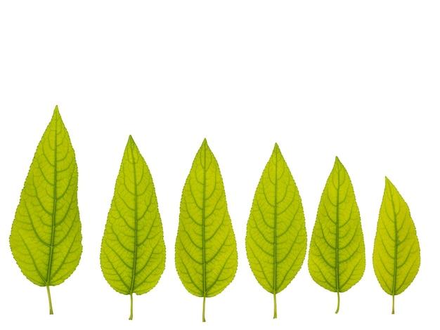 Insieme delle foglie verdi di un albero su una superficie isolata bianca