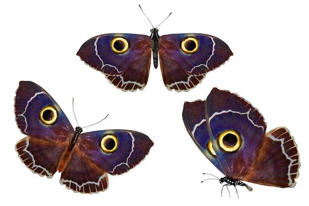 Set di farfalle dagli occhi di gufo. isolato su sfondo bianco
