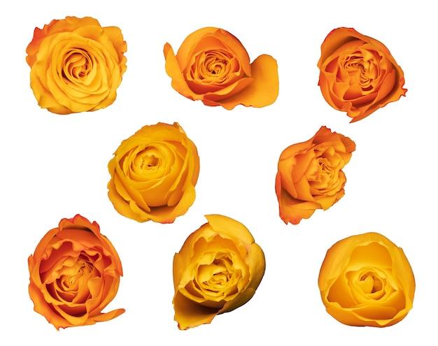 Set di boccioli di rosa isolati su sfondo bianco. fiori d'arancio. foto di alta qualità