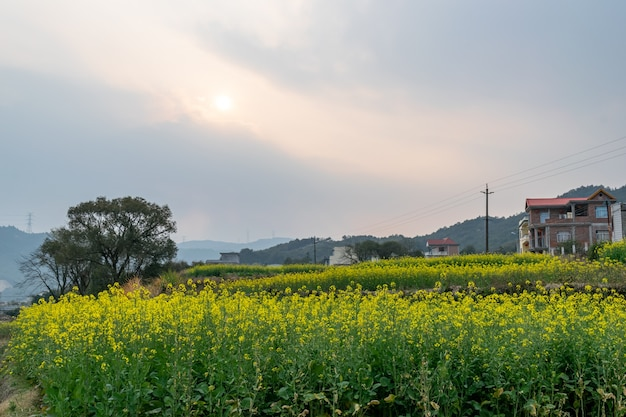 Il sole al tramonto ha reso dorati i fiori di stupro nel campo di fiori di stupro