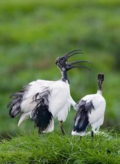 Diversi ibis sacri africani seduti sull'erba