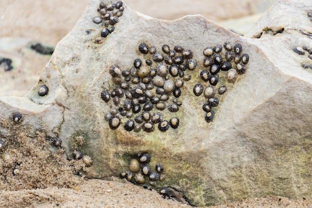 Diverse patelle comuni bloccate su una roccia della spiaggia.