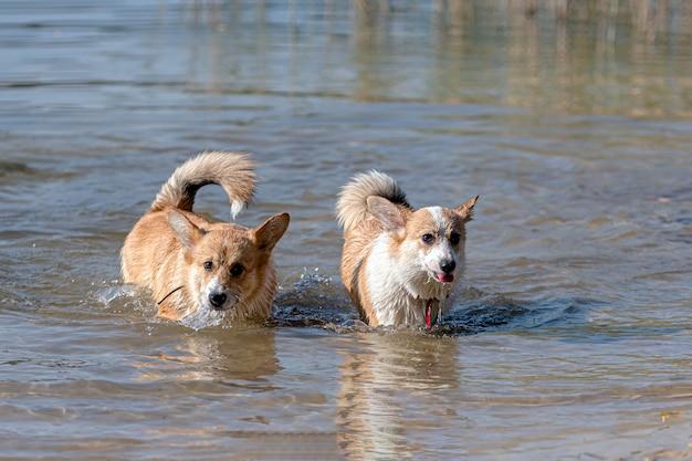 Diversi cani welsh corgi pembroke felici che giocano e saltano nell'acqua sulla spiaggia sabbiosa