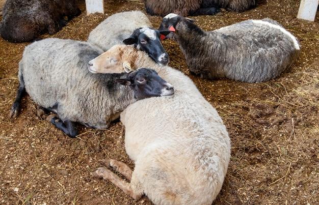 Diverse pecore stanno riposando in una stalla di una fattoria.
