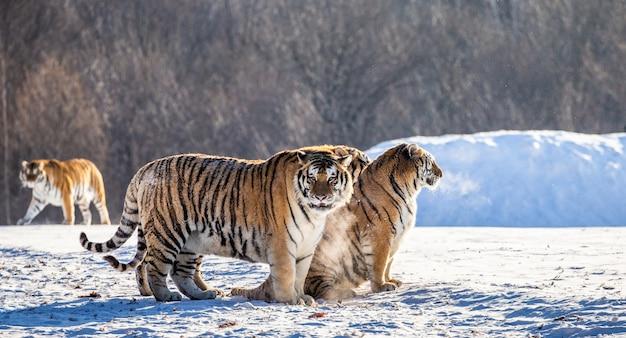 Diverse tigri siberiane su una collina innevata