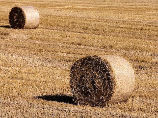 Diverse pile di grano sul campo, paesaggio