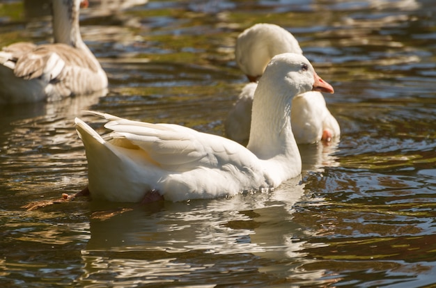 Diverse anatre bianche che nuotano sul lago in brasile