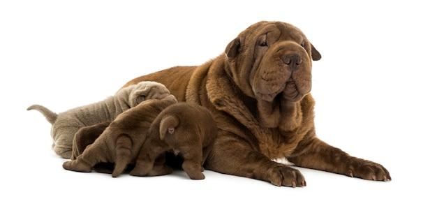 Mamma di shar pei sdraiata che allatta i suoi cuccioli isolati su bianco