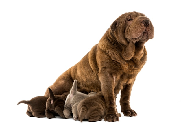 Mamma di shar pei che si siede allattando al seno i suoi cuccioli isolati su bianco