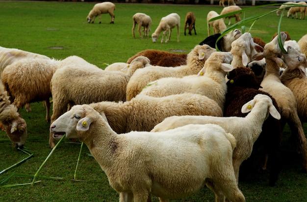 Le pecore mangiano l'erba nel prato verde