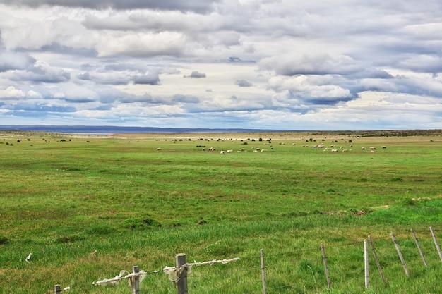 Pecore nel campo della patagonia, cile