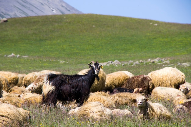 Pecore e capre della valle. vita animale domestico. fattoria in montagna. grande gruppo di pecore.
