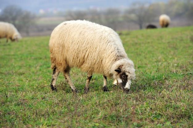 Gregge di pecore in campo