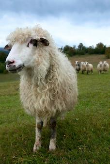 Gregge di pecore sul pascolo dell'altopiano di montagna (montagna dei carpazi, ucraina).