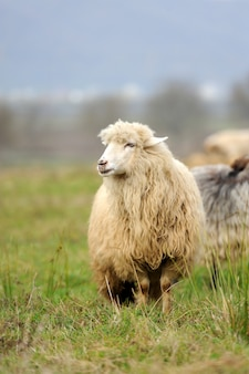 Gregge di pecore nel prato estivo