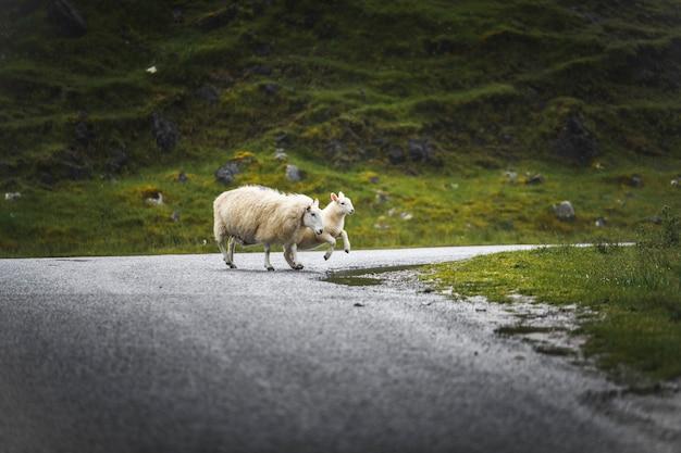 Pecore e agnelli che attraversano una strada