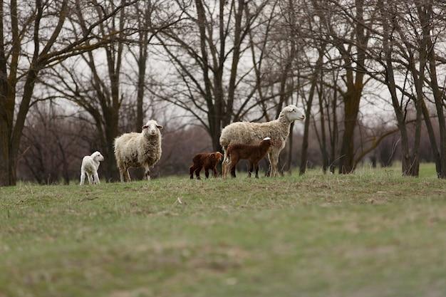 Pecore e agnelli pascolano nel prato verde primaverile