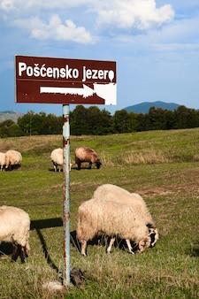 Pecore sui campi di montagna.