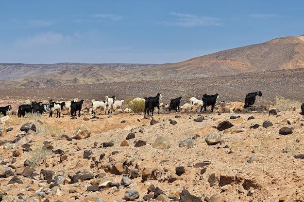 Pecore nelle montagne dell'arabia saudita