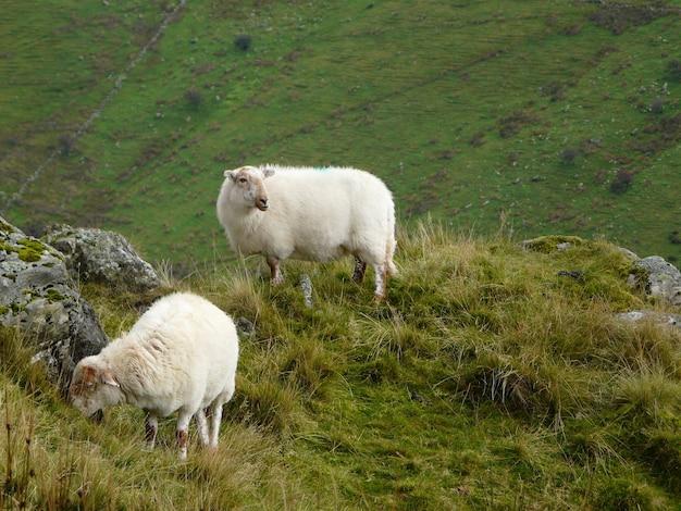 Pecore al pascolo nelle montagne rocciose, in galles in una giornata uggiosa