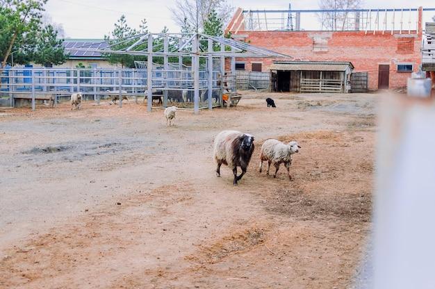 Pecore e montoni girano per il paddock della fattoria. mammiferi nello zoo. animali affamati. messa a fuoco selettiva.