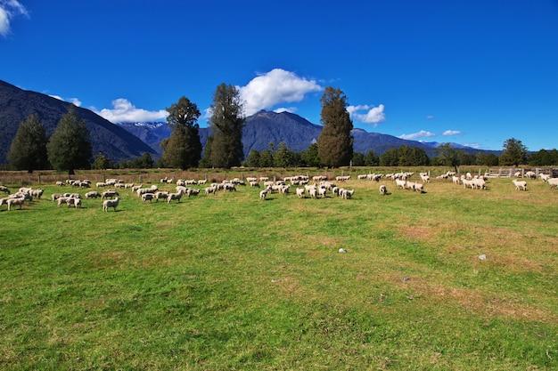 Pecore sull'isola meridionale, nuova zelanda