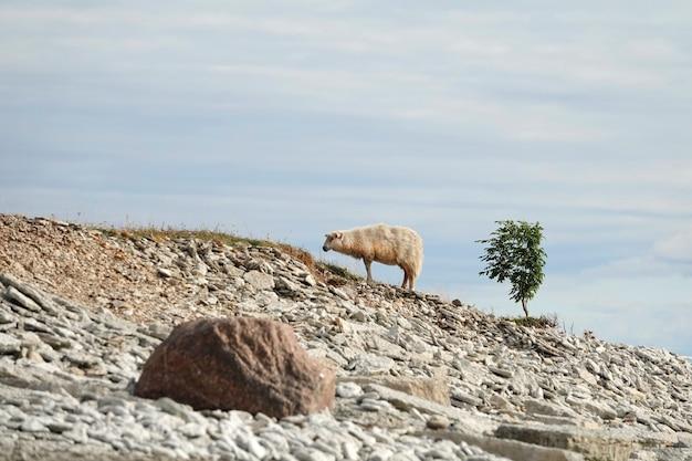 Pecore che camminano sulla cima della montagna sulla roccia bellissimo paesaggio pecore di montagna sulla cima