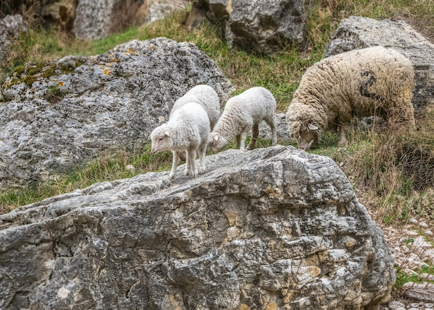 Una pecora con agnelli su una montagna tra grandi pietre.