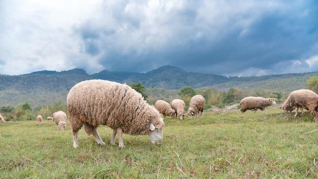 Pecore al pascolo nel campo verde del paese