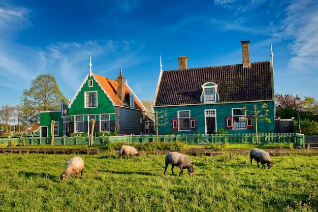 Pecore al pascolo nei pressi di case coloniche nel villaggio museo di zaanse