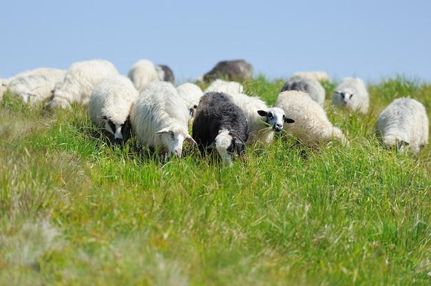 Pecore in un prato in montagna. paesaggio estivo