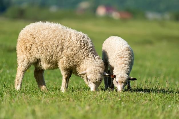 Pecore in un prato in montagna