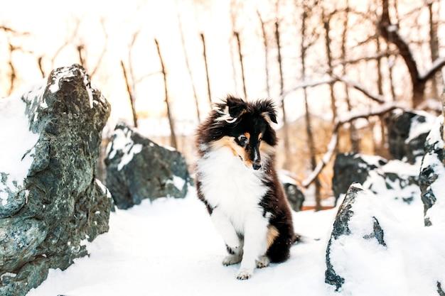 Il cucciolo di cane sheltie cammina fuori in inverno, neve bianca e rocce, luce solare, comunicazione con un animale domestico