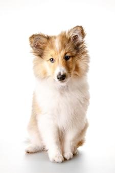 Cucciolo di sheltie isolato su uno sfondo bianco.