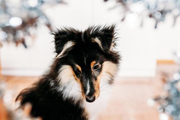 Cucciolo e stella shelty, cane di casa, animale domestico e amico di famiglia