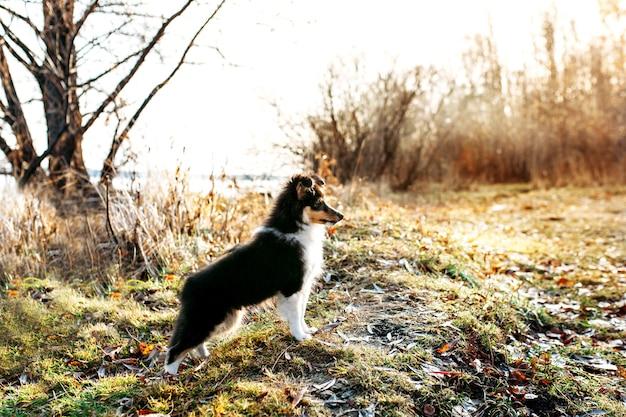 Il cucciolo shelty cammina attraverso la foresta autunnale, cammina con il cane, purosangue, cammina in famiglia, socializza con animali domestici
