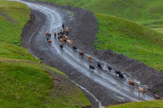 Pastore e mucche su una strada di montagna in georgia, gola di datvijvari