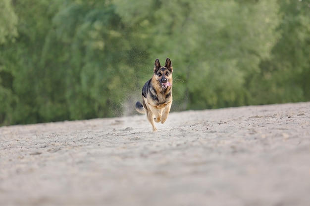 Cane da pastore che corre all'aperto