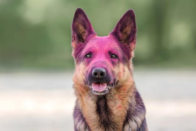 Cane da pastore con colori holi