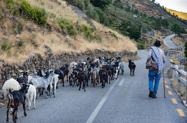 Pastore che guida il suo gregge di pecore tra la strada e il campo