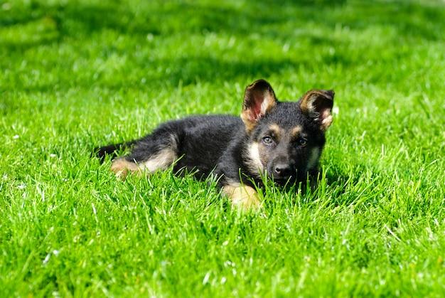 Cucciolo di pastore si trovano sull'erba verde