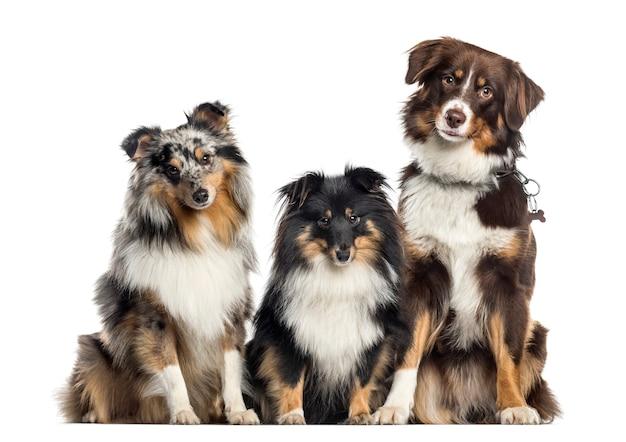 Shetland sheepdog e australian shepherd, cani in fila, sfondo bianco