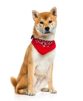 Shiba inu indossa una sciarpa rossa