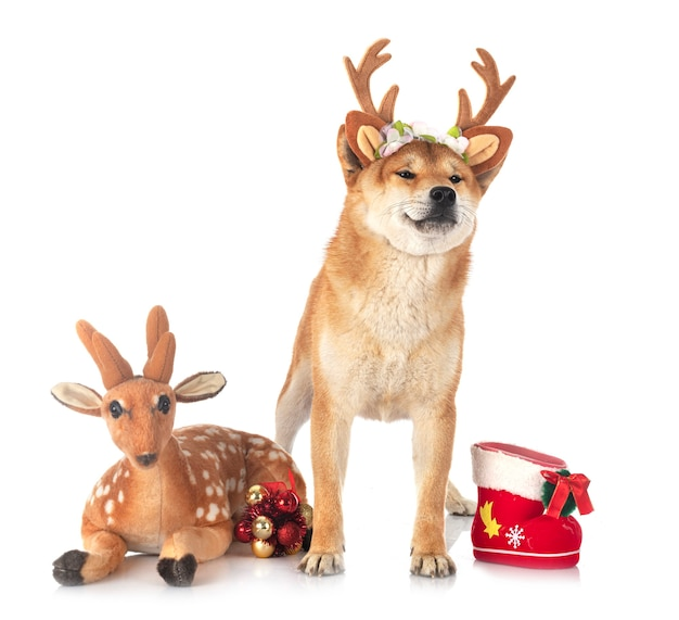 Shiba inu con i giocattoli