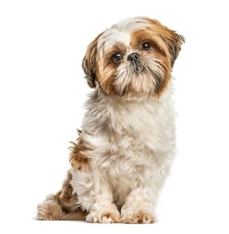 Shih tzu, dog sitter e guardando la telecamera, isolata su bianco