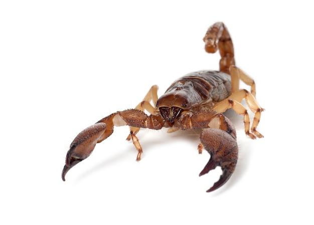 Shiny burrowing scorpion o zampe gialle scorpione strisciante, opistophthalmus glabrifrons, contro lo spazio bianco