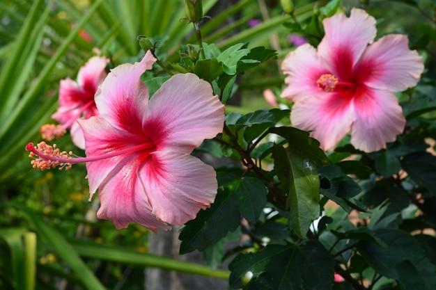 Scarpa fiore ibisco rosa cinese