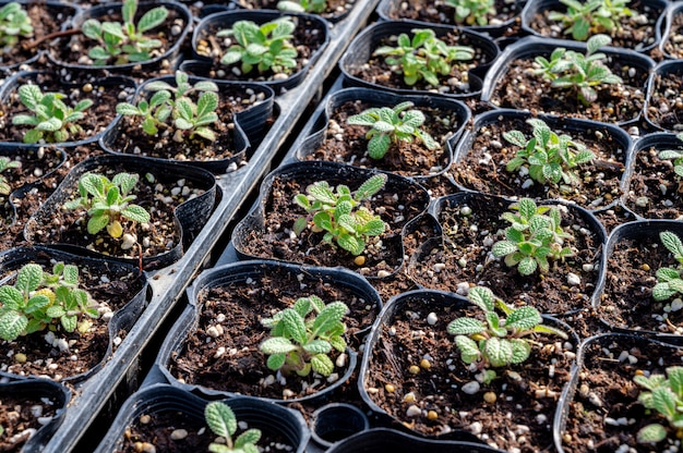 Germogli di piante erbacee che crescono nella serra