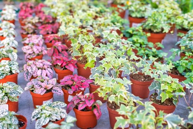 Negozio di piante e fiori per la vendita in vivaio. piante in vaso