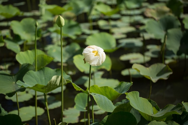 A forma di doccia sbiadito fiore di loto in sir seewoosagur ramgoolam botanical garden, pamplemousse, mauritius